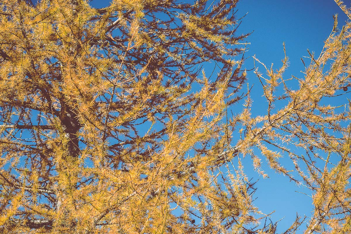 Detail of a yellow tree against a blue sky.